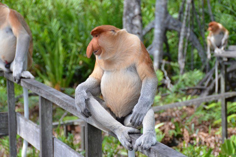 proboscis-monkey-2422094_1920
