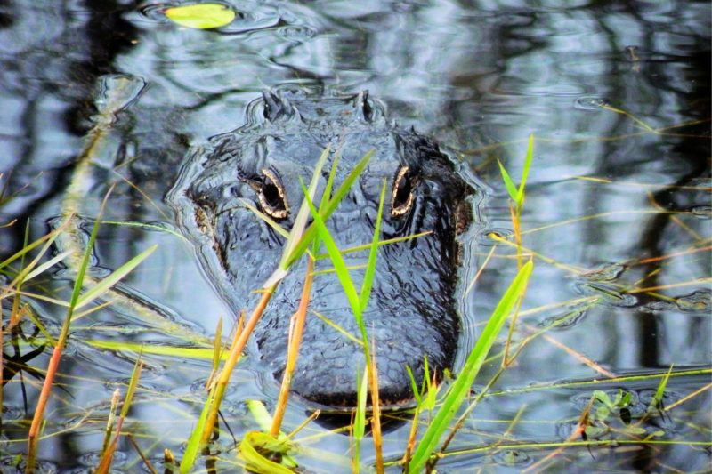 Aligator na Everglades
