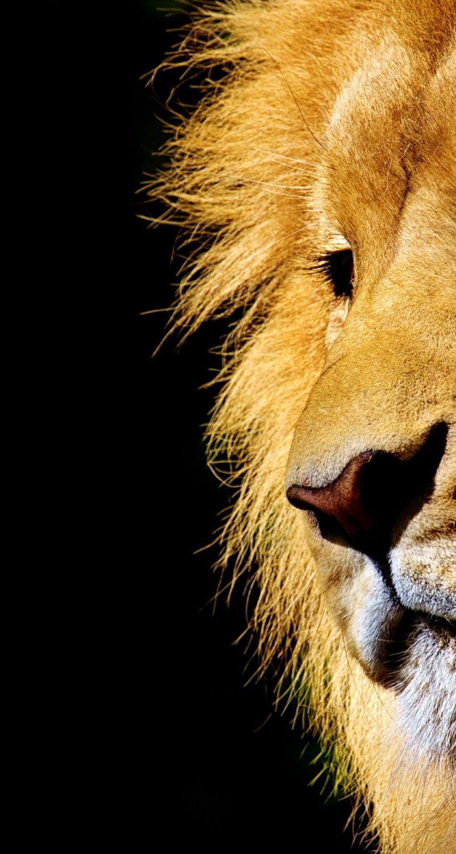 lion-2327225